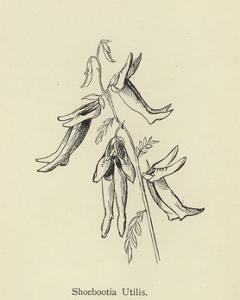 Shoebootia Utilis by Edward Lear