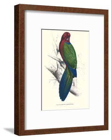 Tabuan Parakeet - Prosapeia Tabuensis