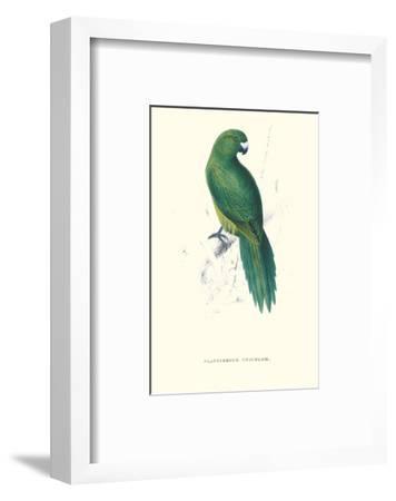 Uniform Parakeet - Cyanoramphus Unicolor