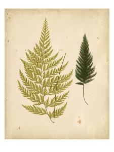 Cottage Ferns I by Edward Lowe