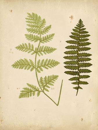 Cottage Ferns III