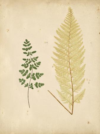 Cottage Ferns IV