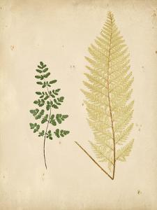 Cottage Ferns IV by Edward Lowe