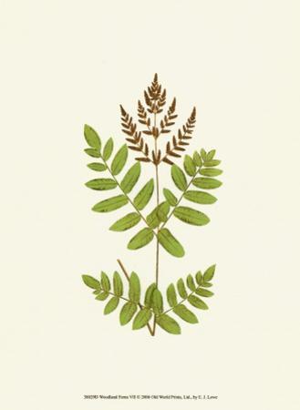 Woodland Ferns VII by Edward Lowe