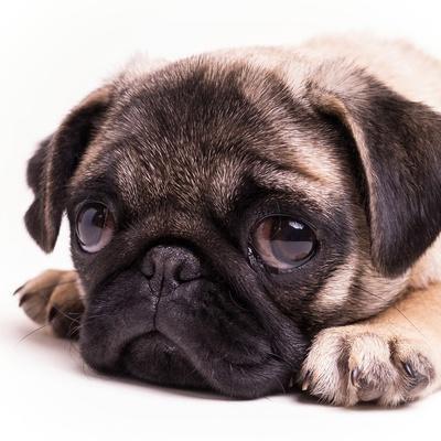 Sad Sack Pug