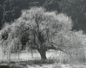 Willow Tree by Edward Weston
