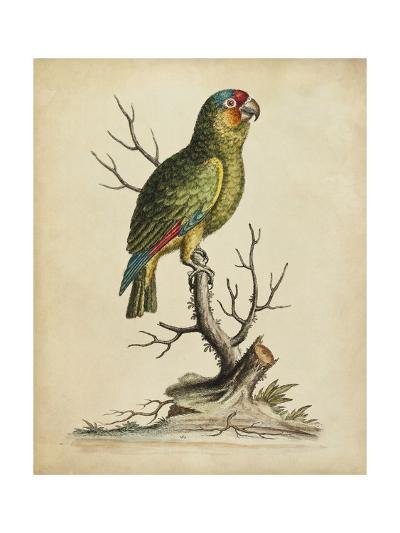 Edwards Parrots III-George Edwards-Art Print