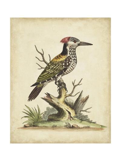 Edwards Woodpecker-George Edwards-Art Print