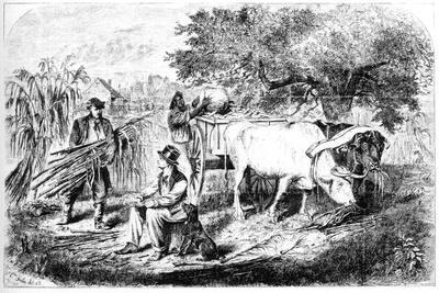 Oxen Hauling Corn, 19th Century