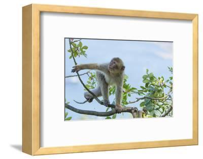 Barbary Macaque (Macaca Sylvanus) Youngster Climbing, Gibraltar Nature Reserve, Gibraltar