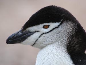 Chinstrap Penguin Head Portrait, Antarctica by Edwin Giesbers
