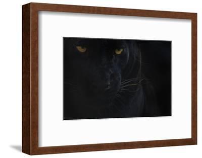 Close Up Head Portrait Of Melanistic - Black Leopard (Panthera Pardus) Captive