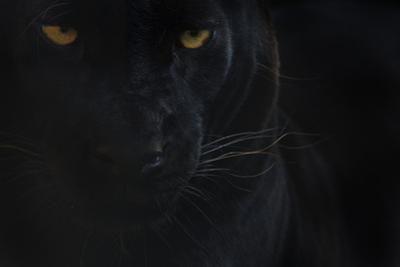 Close Up Head Portrait Of Melanistic - Black Leopard (Panthera Pardus) Captive by Edwin Giesbers