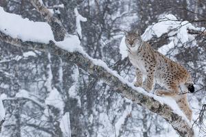 European Lynx (Lynx Lynx) Climbing A Tree, Captive, Norway, February by Edwin Giesbers
