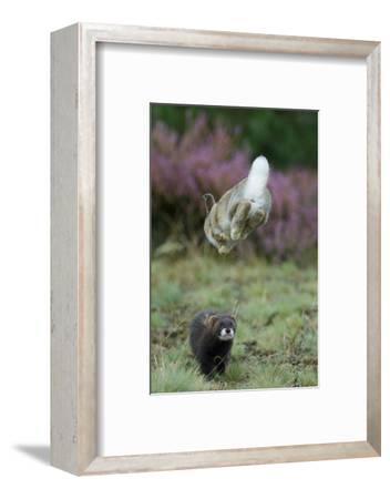 European Polecat (Mustela Putorius) Hunting Rabbit Which Is Jumping to Get Away