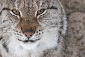 Face Portrait Of A European Lynx (Lynx Lynx), Captive, Norway, February by Edwin Giesbers