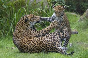 Female Jaguar (Panthera Onca) Playing With Her Cub, Captive, Occurs In Southern And Central America by Edwin Giesbers