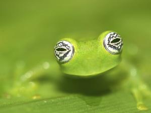 Ghost Glass Frog, Costa Rica by Edwin Giesbers