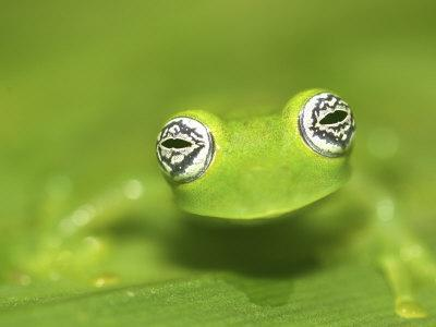 Ghost Glass Frog, Costa Rica