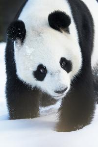 Giant panda (Ailuropoda melanoleuca) in snow, captive. by Edwin Giesbers