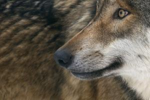 Grey Wolf (Canis Lupus) Close Up, Captive by Edwin Giesbers
