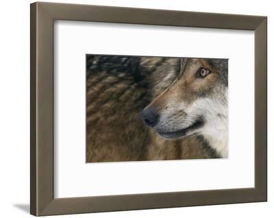 Grey Wolf (Canis Lupus) Close Up, Captive