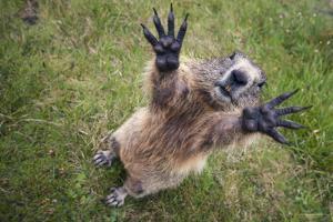 Handsalpine Marmot (Marmota Marmota) Reching Upwards, Hohe Tauern National Park, Austria, July by Edwin Giesbers