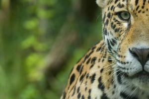 Jaguar (Panthera Onca) Close-Up Head Portrait, Captive by Edwin Giesbers