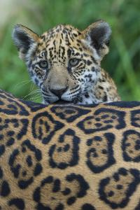 Jaguar (Panthera Onca) Cub Looking Over Its Mother'S Back by Edwin Giesbers