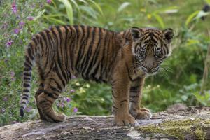 Juvenile Sumatran Tiger (Panthera Tigris Sumatrae), Aged Four Months, Captive by Edwin Giesbers