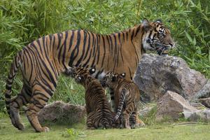 Juvenile Sumatran Tiger (Panthera Tigris Sumatrae), Aged Four Months, Suckling From Its Mother by Edwin Giesbers