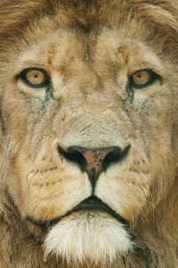 Lion (Panthera Leo) Close Up Portrait of Male, Captive Occurs in Africa by Edwin Giesbers