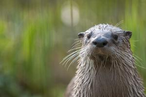 North American River Otter (Lutra Canadensis) Captive, Occurs in North America by Edwin Giesbers