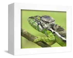 Oustalet's Chameleon Portrait, Madagascar by Edwin Giesbers