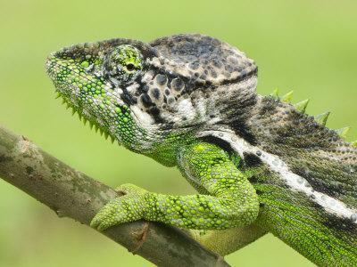 Oustalet's Chameleon Portrait, Madagascar