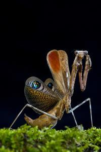 Peacock mantis in defensive posture, captive occurs in Burma and Thailand by Edwin Giesbers
