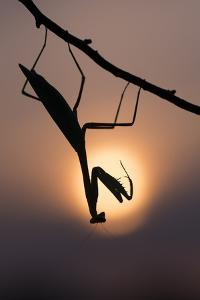 Peruvian mantis silhouette with sun behind, captive, occurs in South America by Edwin Giesbers