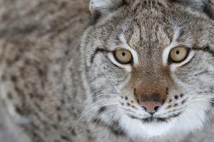 Portrait Of A European Lynx (Lynx Lynx), Captive, Norway, February by Edwin Giesbers