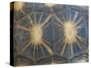Radiated Tortoise Shell, Berenty Reserve, Madagascar by Edwin Giesbers