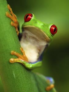 Red Eyed Tree Frog Portrait, Costa Rica by Edwin Giesbers