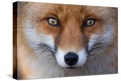 Red Fox (Vulpes Vulpes) Captive Portrait