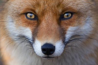 Red Fox (Vulpes Vulpes) Captive Portrait