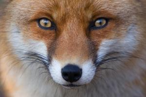 Red Fox (Vulpes Vulpes) Captive Portrait by Edwin Giesbers