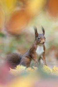 Red Squirrel (Sciurus Vulgaris) in Autumnal Woodland Leaflitter, the Netherlands, November by Edwin Giesbers