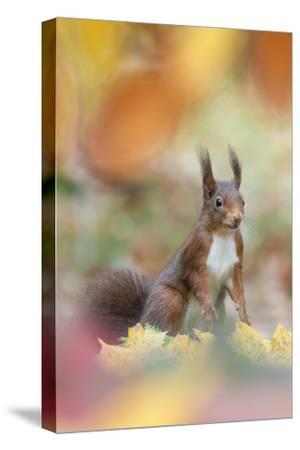 Red Squirrel (Sciurus Vulgaris) in Autumnal Woodland Leaflitter, the Netherlands, November