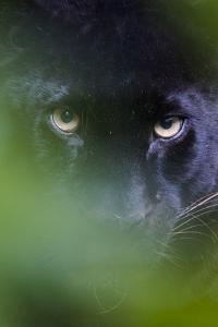 RF - Black panther / melanistic Leopard (Panthera pardus) peering through leaves, captive. by Edwin Giesbers