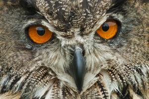 RF - Eagle owl (Bubo bubo) close-up of head. Captive, Netherlands. August. by Edwin Giesbers