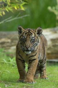 Rf- Juvenile Sumatran Tiger (Panthera Tigris Sumatrae), Aged Four Months, Captive by Edwin Giesbers