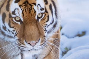 RF - Siberian tiger (Panthera tigris altaica) in snow, captive. by Edwin Giesbers