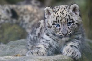 RF - Snow leopard (Panthera uncia) cub age three months, captive by Edwin Giesbers
